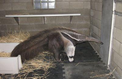 Boy anteater