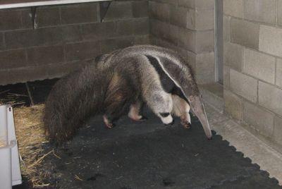 Girl anteater